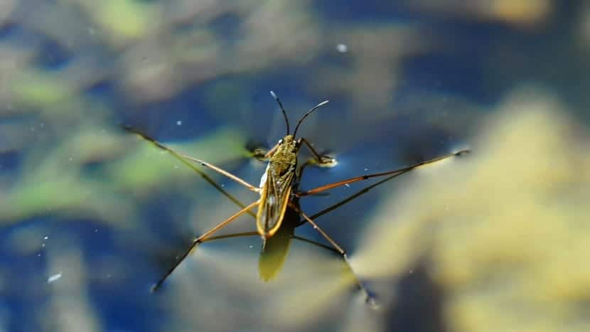 insecto zapatero encima del agua