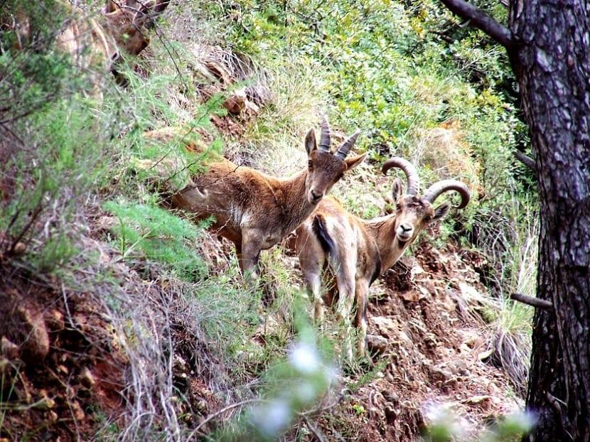 Montes de Málaga cabra montes