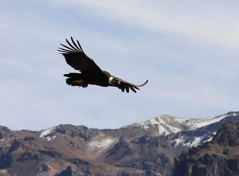 Fauna en Aconcagua
