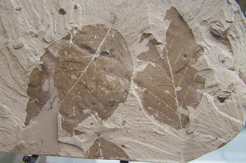 Fósil de flora