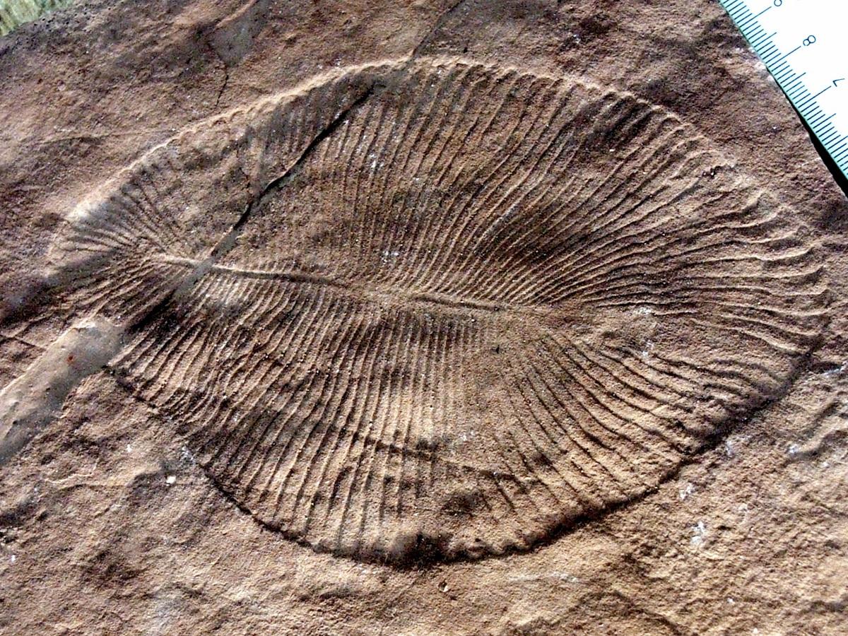 Fósiles de Ediacara