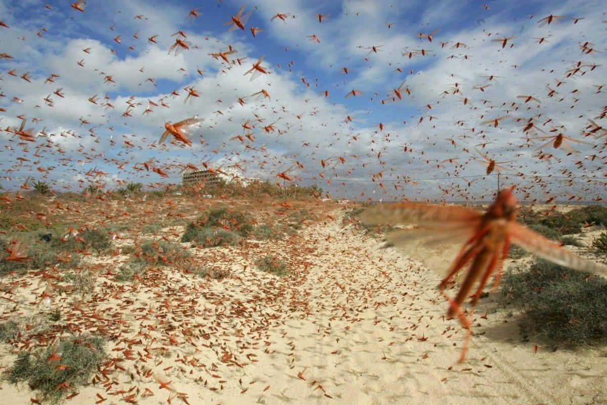 plaga de langostas en los paises del sur