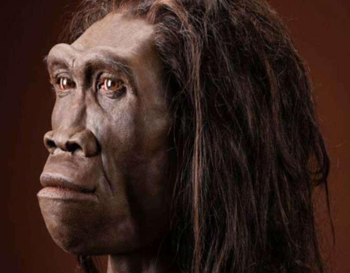 homo erectus evolucion